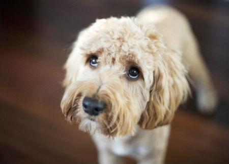 sintomas temblores en perros