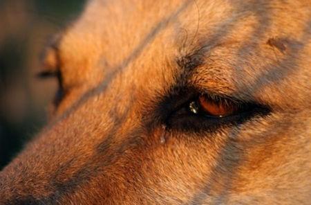tratamiento leganas perros