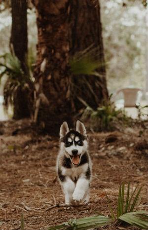 Cachorros del Husky Siberiano