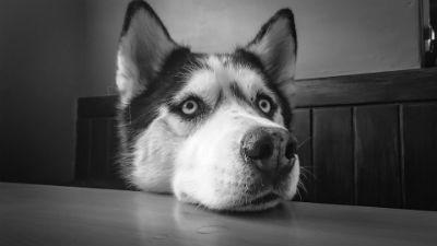 Caracteristicas fisicas del perro Husky Siberiano