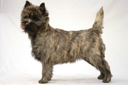 origen Cairn Terrier