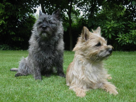 perro Cairn Terrier