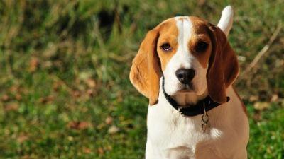 Origen del beagle