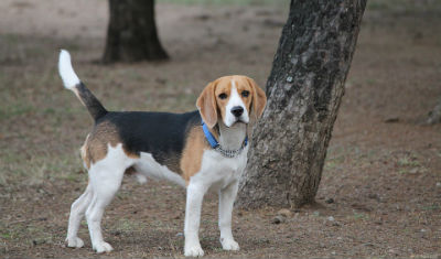 Comportamiento del Beagle