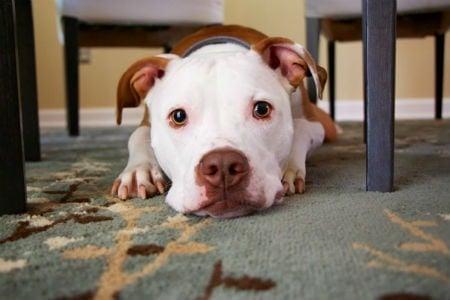 pelaje american Terrier
