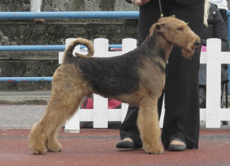 Airedale Terrier ingles
