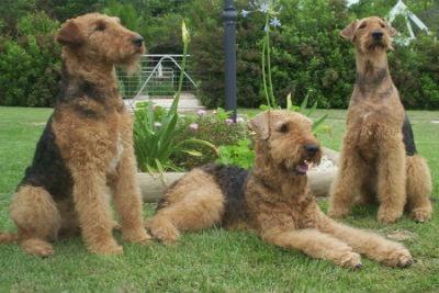 cuidados Airedale Terrier