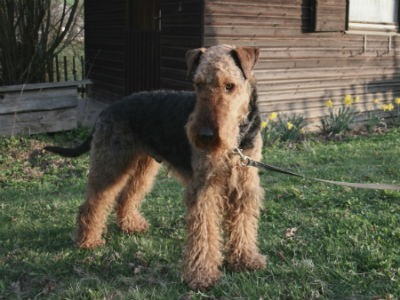 perro Airedale Terrier