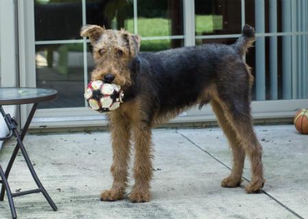 adiestrar Airedale Terrier