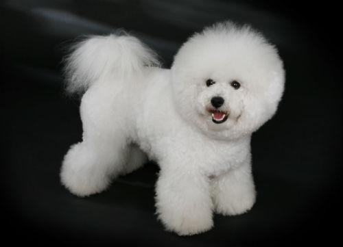 bichon frise perro pequeno