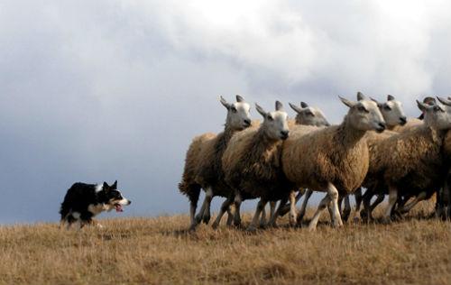 olfato perros pastores