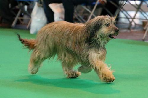 perro catalan