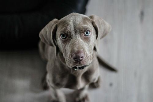 cachorro Braco de Weimar
