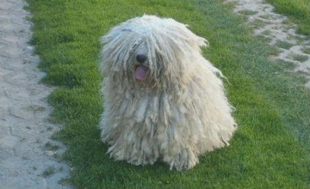 cachorro komondor