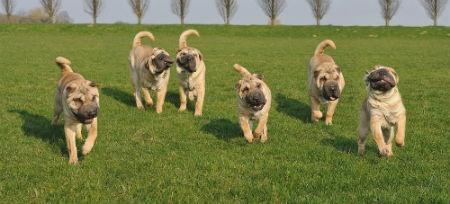 perros Sharpei