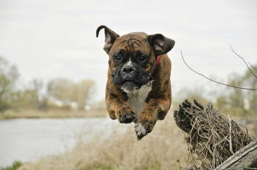 perro boxer