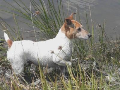 adiestrar Jack Russell Terrier
