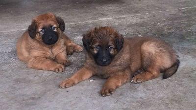 Cachorros del Perro Pastor Vasco