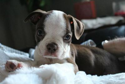 Cachorro de Boston Terrier