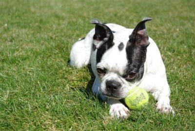 Cuidados del Boston Terrier