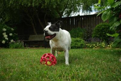 Caracter y personalidad del Boston Terrier