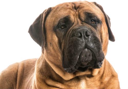 raza de perro bullmastiff