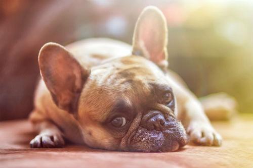perros con leishmaniosis