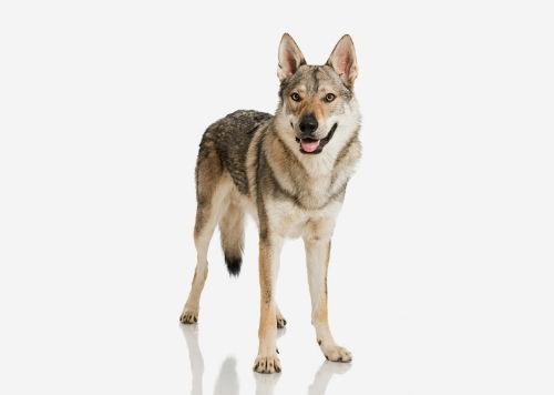 czechoslovakwolfdog