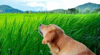 Perros que comen hierba