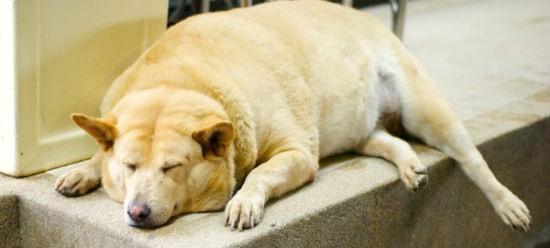 consejos combatir obesidad perros