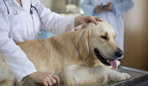 perra veterinario