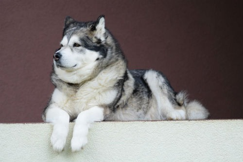 perro del artico