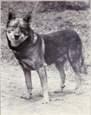 norwegian_elkhound_from_1915.jpg