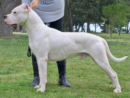 perro de pelea argentino