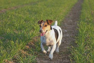 perro de caza Jack Russell Terrier