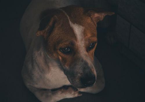 depresion canina