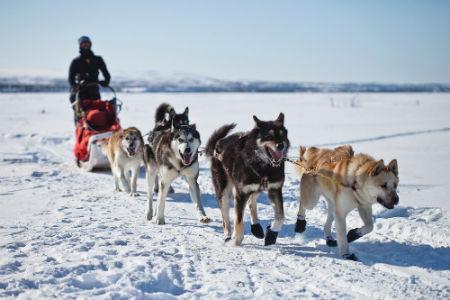 perros oficiales trineo