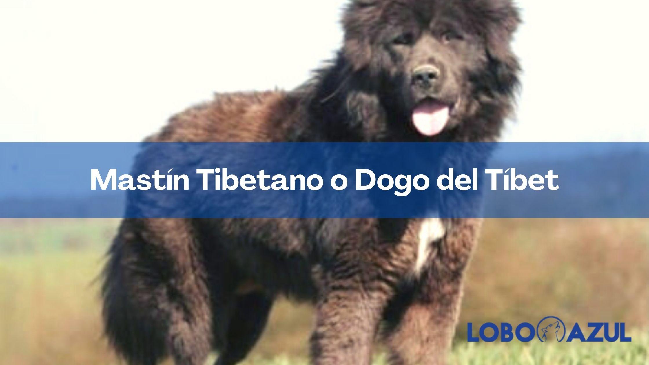 El Mastín Tibetano - La guía mas completa sobre el Dogo del Tíbet