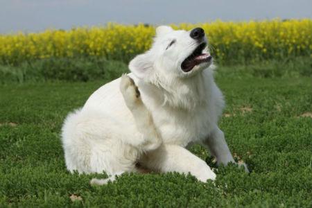 picor de perro