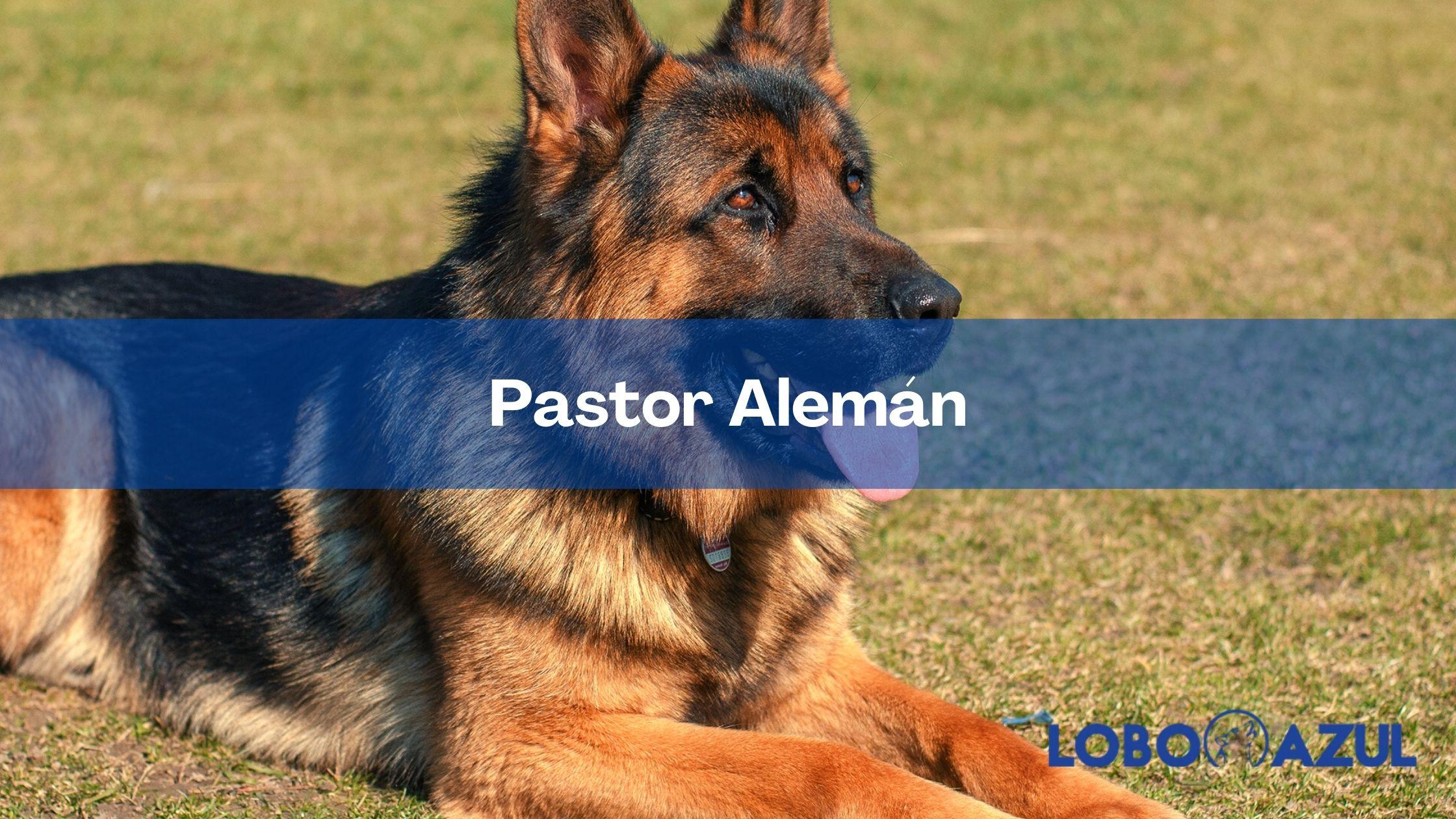 Pastor Alemán: Toda la información sobre esta excelente raza de perro