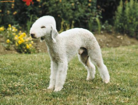 Rothbury terrier