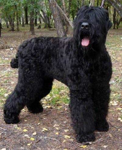 perro negro de rusia